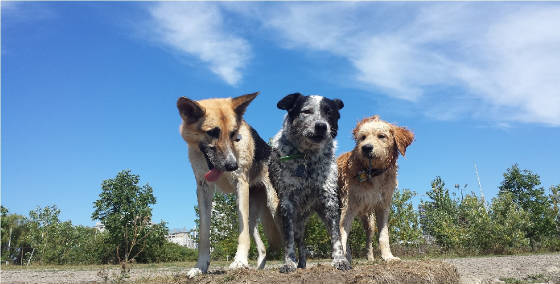 Dogs-In-A-Pack-SUMMER-2016. With Dog Walker Dan the dogs stick to him like glue!